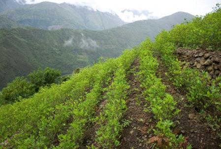 Koka Bitkisi - Kolombiya